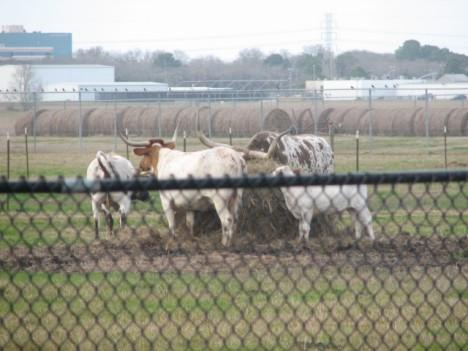 Nasa_cows